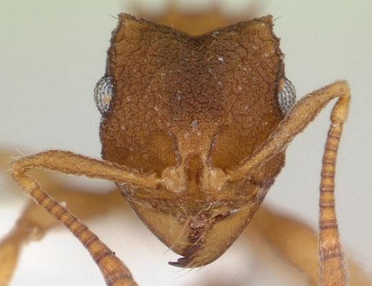 La hormiga que se clona