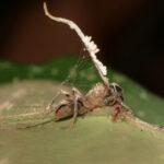 Hormigas y orugas zombis