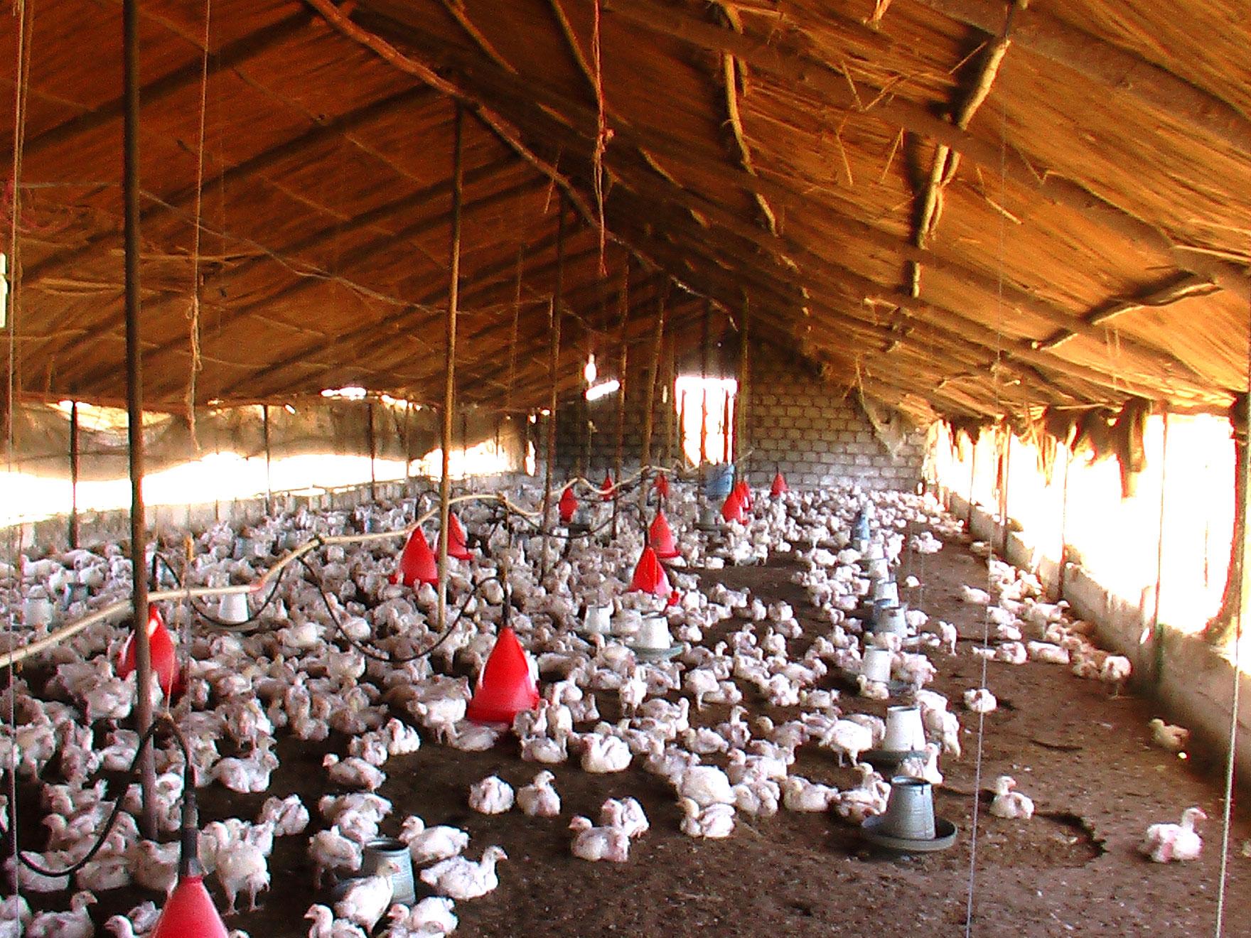 Japón sacrifica más de medio millón de aves