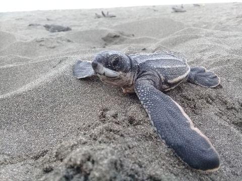 Una amenaza más para las tortugas marinas
