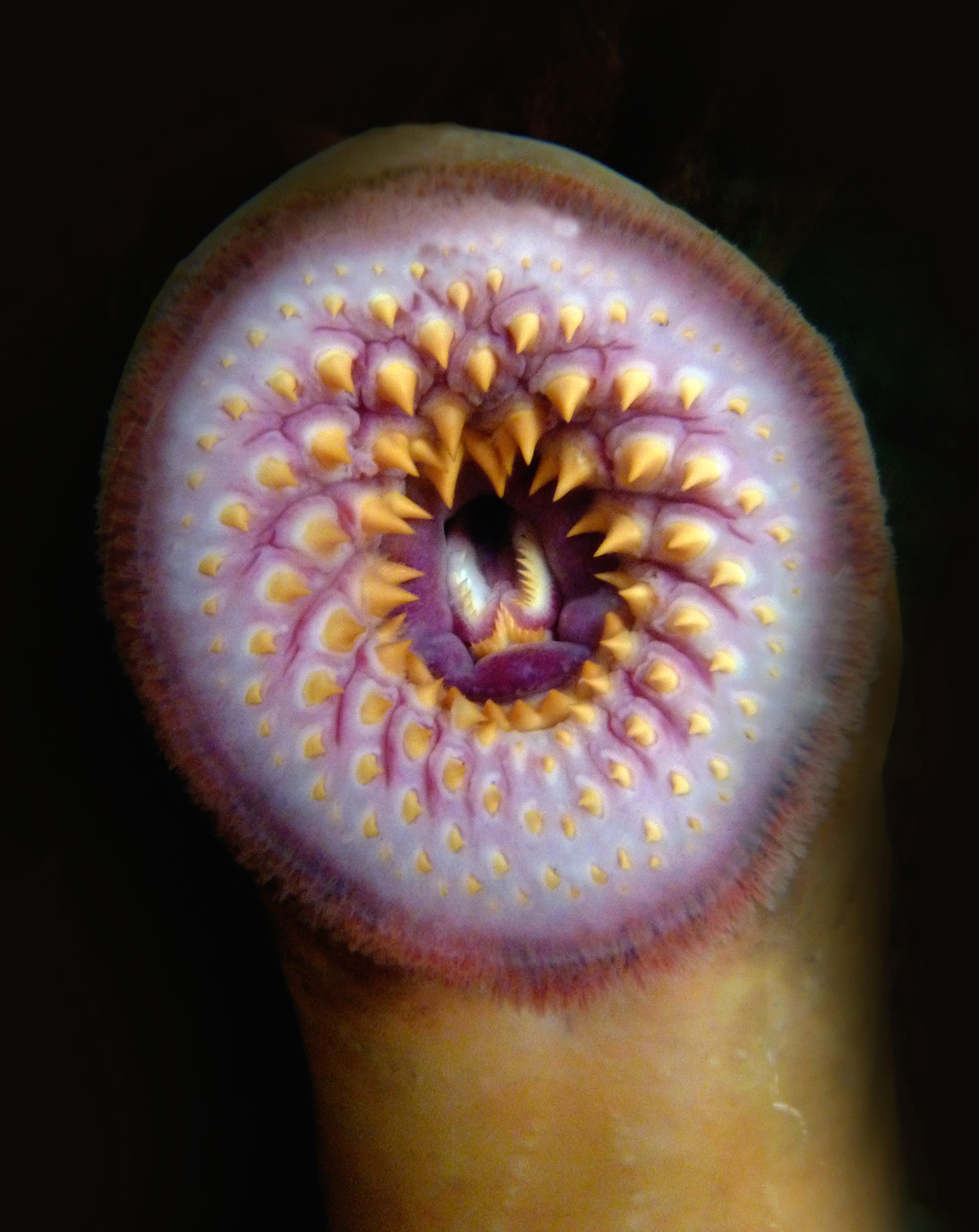 La boca de la lamprea