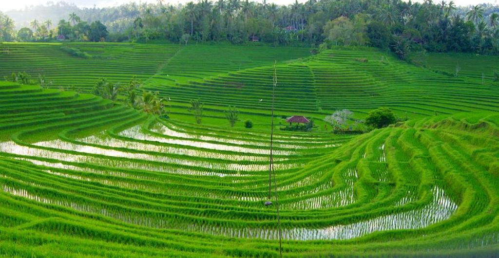La calidad del arroz será cada vez peor por culpa del CO2