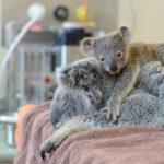 La entrañable historia de cómo un bebe koala abraza a su madre malherida
