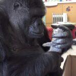 La gorila Koko adopta dos gatitos