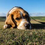 La gripe canina ha llegado a Estados Unidos… pero no hay razón para alarmarse