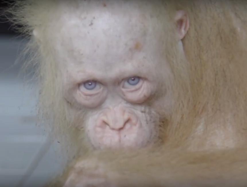 La orangután albina que busca un nombre