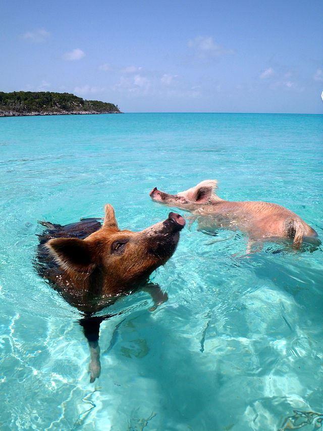 La playa de los cerdos nadadores