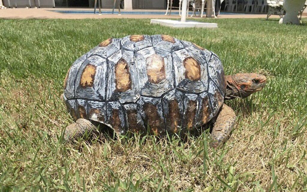 La primera tortuga con un caparazón impreso en 3D