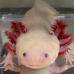 La salamandra que aporta claves para curar lesiones medulares
