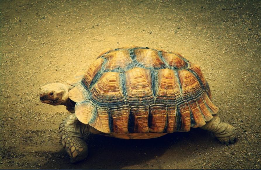 La tortuga siempre le gana a la liebre