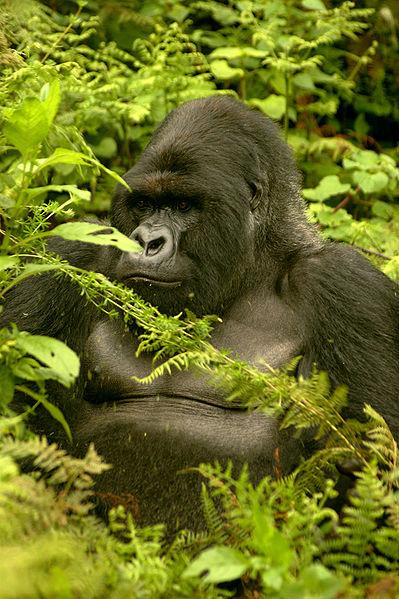 La malaria viene del gorila