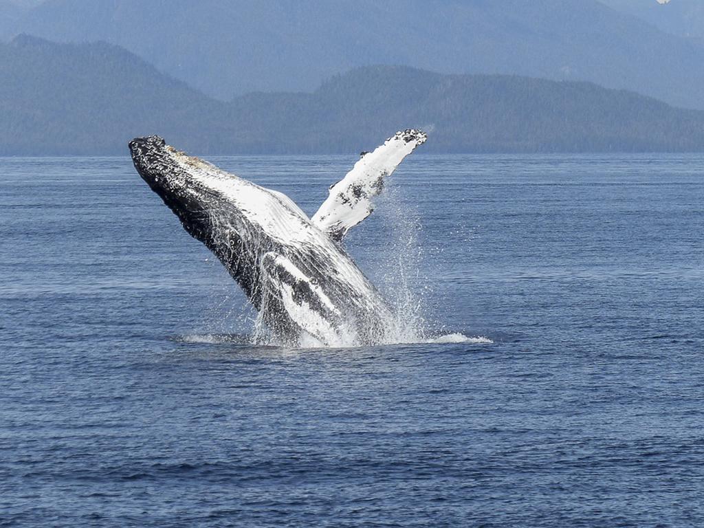 Las ballenas jorobadas trabajan como guardaespaldas de otras especies