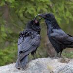 Las dos especies de cuervos que se han fundido en una sola