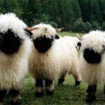 Las ovejas nos reconocen en fotos