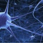 Las personas con mayor cociente intelectual tienen neuronas más grandes