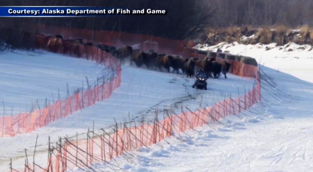 Los bisontes salvajes regresan a Alaska