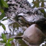 Los caimanes se comen a los tiburones