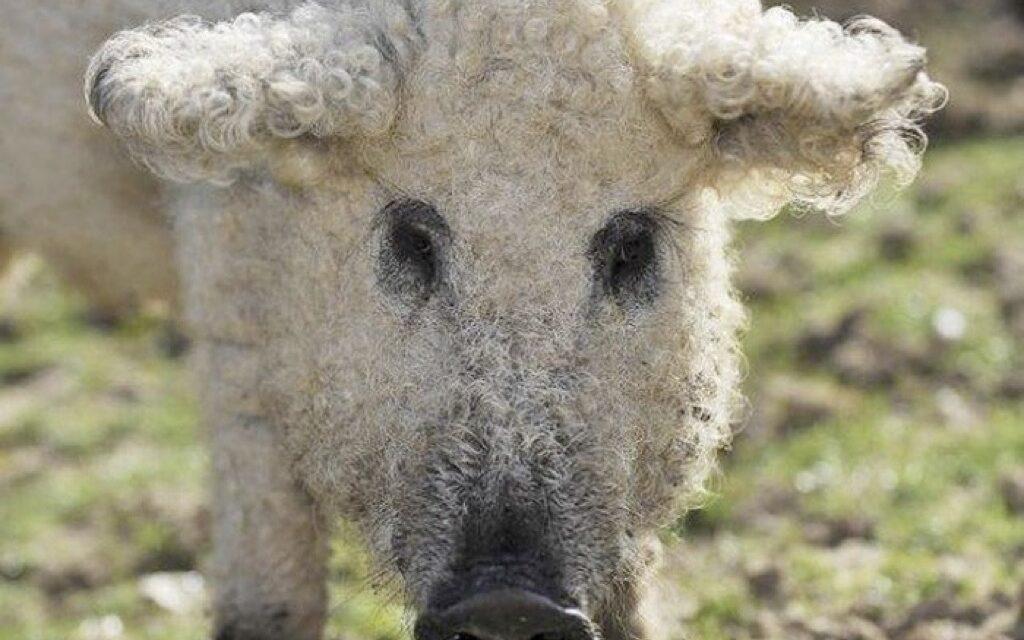 Los cerdos más raros del mundo