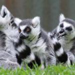 Los lémures son raros porque sus frutas son raras