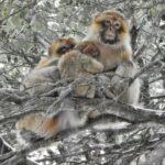 Los monos que tienen más amigos sobreviven mejor al invierno