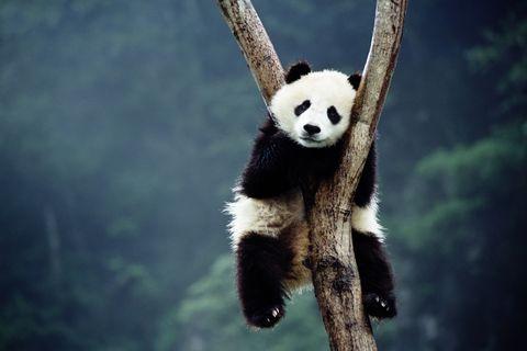 Los antepasados de los osos panda eran carnívoros