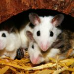 Los ratones transmiten un virus que se confunde con la gripe y puede matar