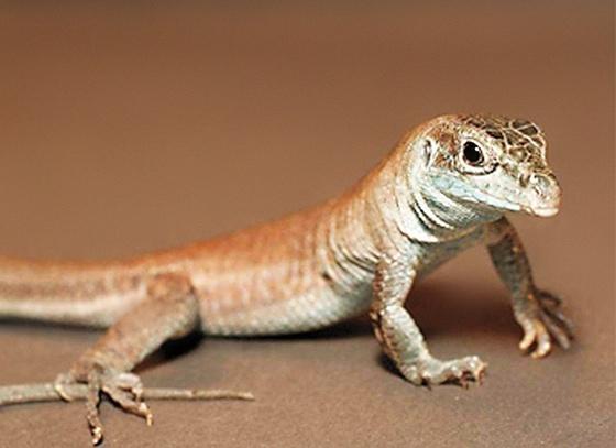 ¿Los reptiles se clonan o se reproducen?