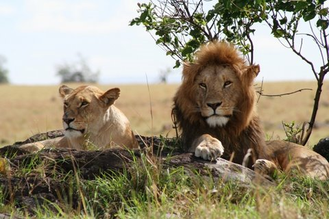 Matan al menos a dos leones emblemáticos en Kenia