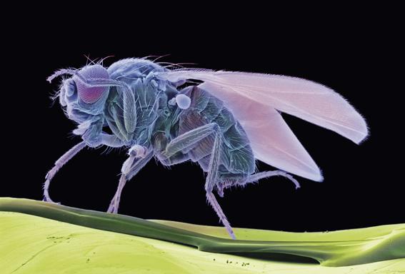 La mosca mutante