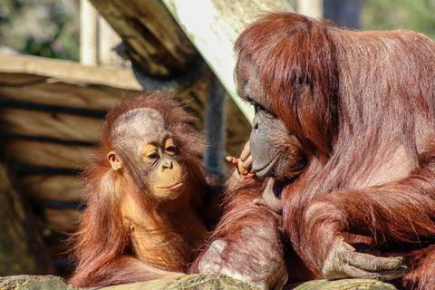 Así se las gasta mamá orangután para dar órdenes