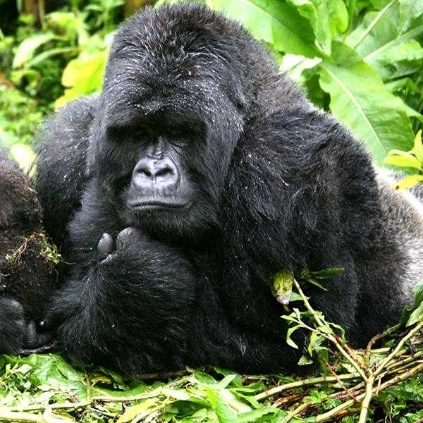 Las hembras de gorila practican incesto salvo con sus padres