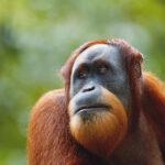 Orangutanes independientes