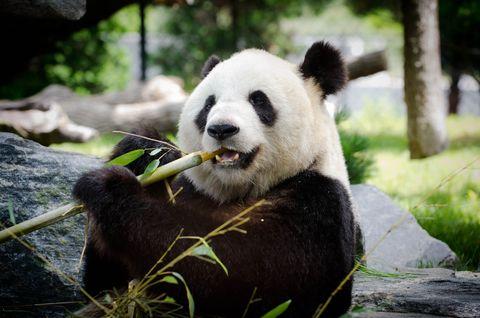 ¿Por qué los osos panda se consideran carnívoros?