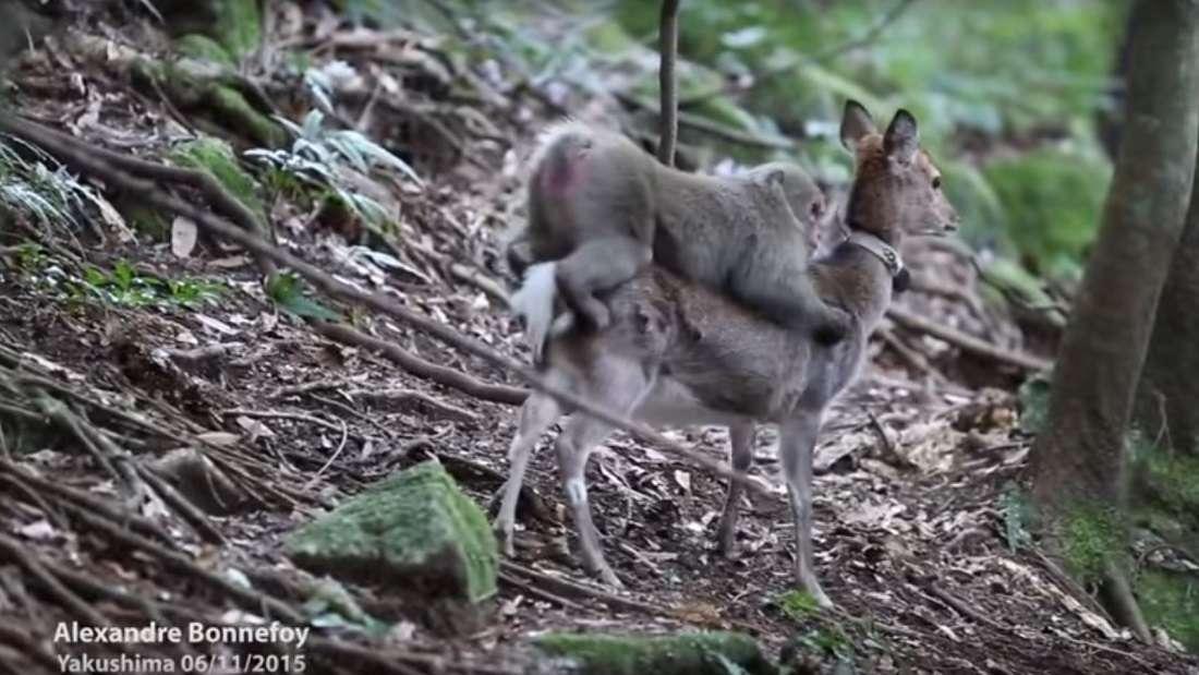 Pillan a un mono tratando de 'violar' a un ciervo