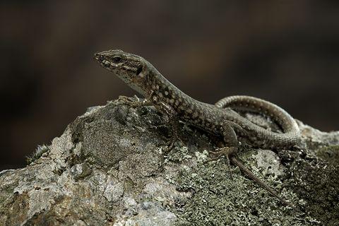 ¿Por qué a la lagartija le vuelve a crecer la cola, pero no una pata?