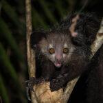 Por fin han descubierto cómo llegaron los lémures a Madagascar