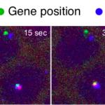 Por primera vez, vemos cómo el ADN basura activa los genes