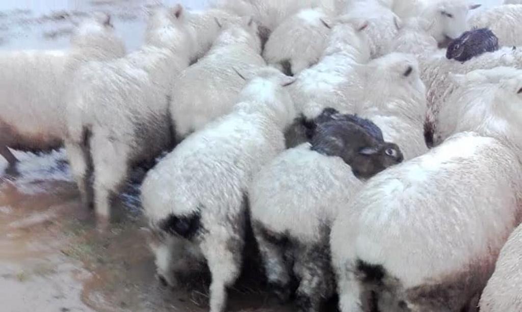 ¿Por qué estos conejos se suben a lomos de las ovejas?