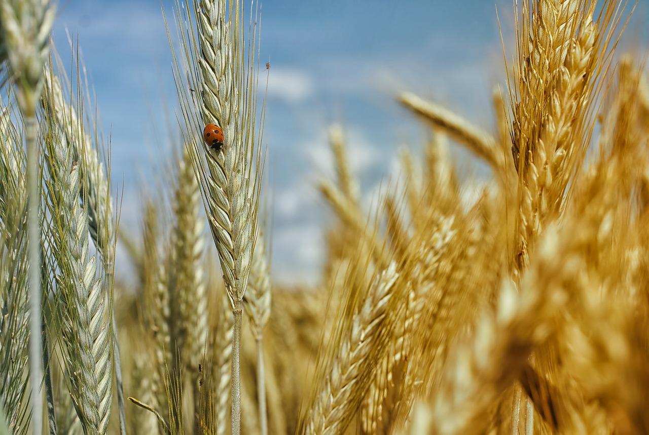 ¿Por qué los cereales son cada vez menos nutritivos?