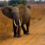 ¿Por qué los elefantes casi no sufren de cáncer? Por células zombis