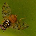 Proyectos con insectos transgénicos