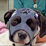 Prueban una máscara facial para un perro con el cráneo fracturado