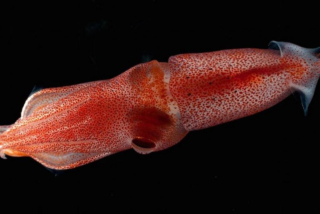 ¿Puede un calamar inseminarte la lengua al comerlo? Sí, si está demasiado crudo