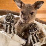 La tierna amistad de un canguro y dos emúes… y de otros animales más