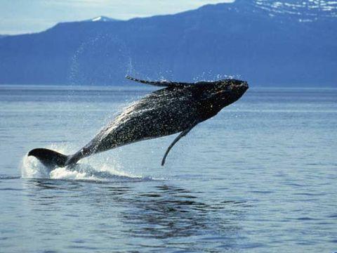 ¿Qué cantan las ballenas?