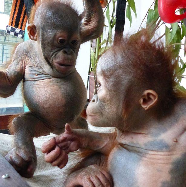 Qué es el amor a primera vista («explicado» por un bebé orangután)
