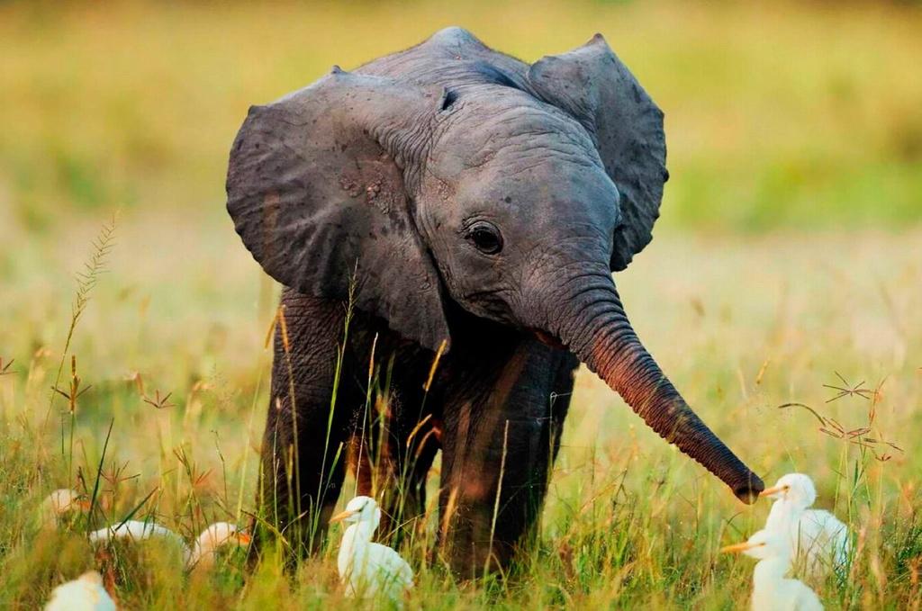 ¿Qué ocurre con las crías de elefante cuando quedan huérfanas?