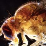 ¿Que tiene que ver la temperatura de la mosca con nuestros hábitos de sueño?