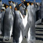 ¿Quieres saber el sexo de los pingüinos? Usa el oído