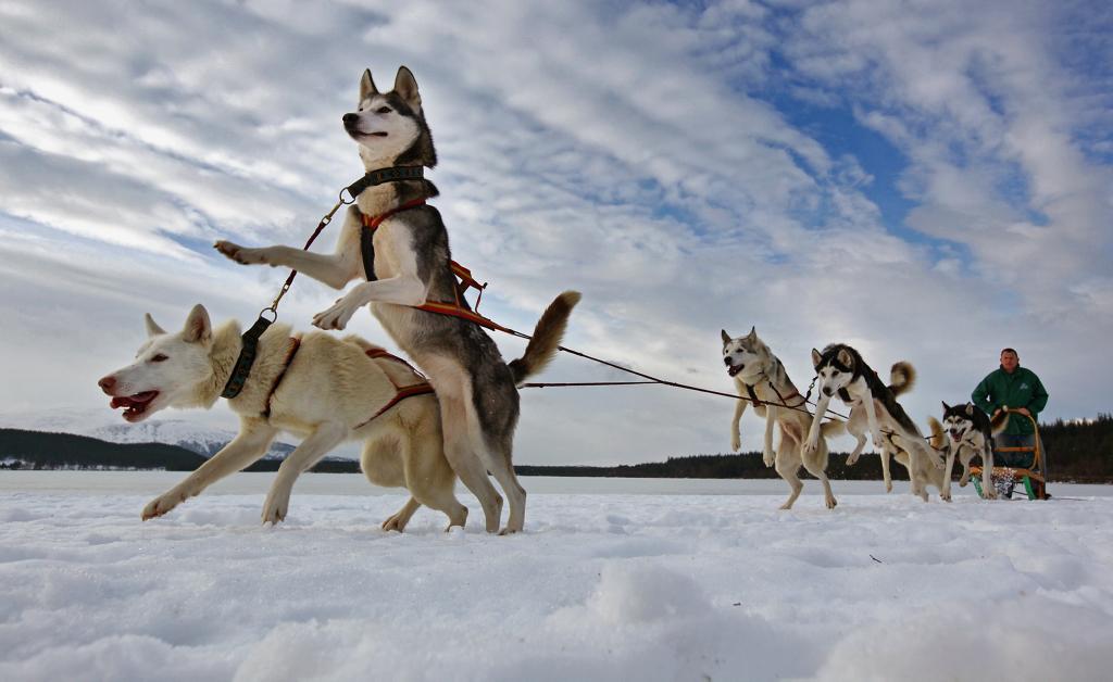 Carreras de huskies